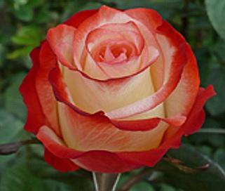 Двухцветные розы роза купить доставка цветов по москве юго западная
