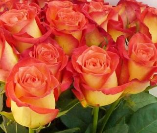 Розы оранжевые картинки