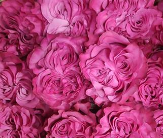 Сорта роза розовая